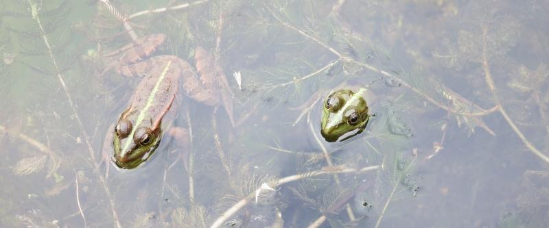 Frösche im Natur-Pool.