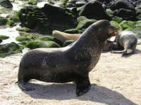 Robbenjunge verbringen teile des Tages in einer Robbenschule.