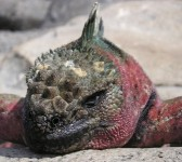 Roter Meeres-Leguan. Er ließ sich von der Kamera nicht stören und eine kurze Distanz zu. Nahrung holt sich dieser Inselbewohner aus dem Meer.