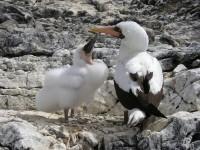 Der Jungtölpel muss das erste Jahr in seinem plauschigen Gefieder überstehen. Ist der erste geschlüpft, wird das zweite Ei vernachlässigt. Erst nach einem Jahr lernt er fliegen und ist nicht mehr auf die Fütterung durch die Eltern angewiesen.