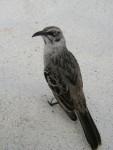 Der spitze Schnabel des Vogels kommt geschickt an noch so kleine Wasservorräte heran. Beliebt sind auch die Trinkflaschen und deren Schraubkappen der Touristen.