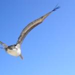 Ein Pelikan der direkt über unsere Köpfe flog.