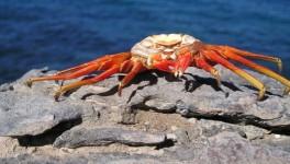 Krabbenpanzer, die Farben verblassen langsam.