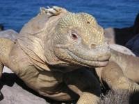 Isla Santa Fé Landleguan - viel Bewegung braucht das Tier wohl nicht. Fast ausgerottet leben sie nur noch auf der Isla Santa Fé. Auf den restlichen Galapagos Inseln leben die gewöhnlichen Landleguane, aber auch davon gibt es nur noch sehr wenige.