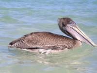 Pelikan, die flogen beim Baden recht nah über uns lang. Ob sie dachten wir wären lecker Futter? Nach einem kurzen Check ließen sie uns aber in Ruhe.