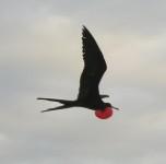Ein Fregattvogel mit aufgeblasenem Kehlsack in der Luft.
