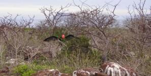 Den roten Kehlsack blasen die Fregattvögel auf um sich bei Weibchen zur Show zu stellen. Dabei werden auch die Flügel weit aufgespannt um das Weibchen zu beeindrucken. Während sie gemütlich im Baum sitzt und durch bleiben oder wegfliegen entscheidet ob ihr das Männchen gefällt.