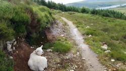 Das Lamm beobachtet seelenruhig das Treiben auf dem Trail - ungewöhnlich.